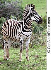 Burchell's Zebra - Handsome zebra standing in the African...
