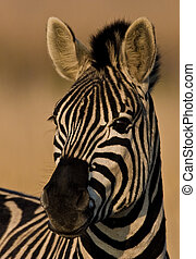 Burchells Zebra Portrait - Burchells Zebra looking into...