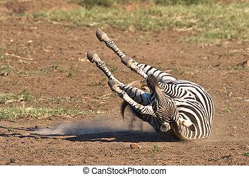 Burchells Zebra rolling in the dusty sand of Pilanesberg