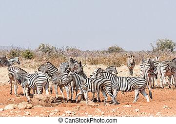 Burchells Zebras and Hartmann Mountain Zebras at a waterhole...