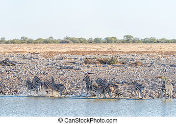 Burchells zebras at a waterhole in Northern Namibia at sunset