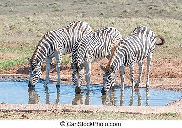 Burchells zebras drinking