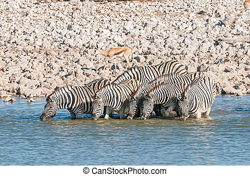 Burchells zebras drinking water at a waterhole in Northern Namibia