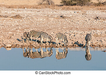 Burchells Zebras drinking water in waterhole with their reflections visible