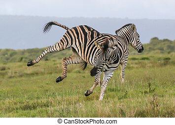 Burchells Zebras Fighting - Two burchell or plains zebras...