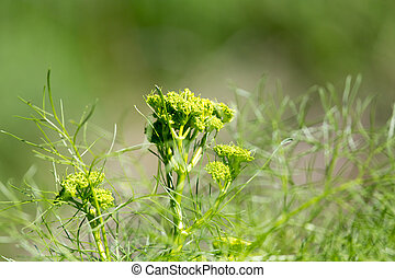 burdock plant in nature
