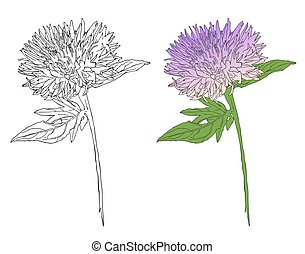 burdock sketch drawing, botanical flower vector