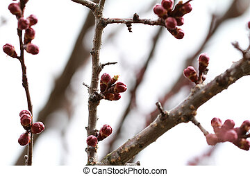 Burgeon - Close up photo of claret tree burgeon