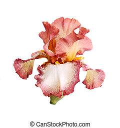 Burgundy and white iris flower isolation - Close-up of a ...
