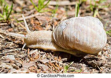 Burgundy snail, edible snail, escargot, roman snail are all...