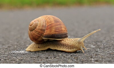Burgundy snail (Helix pomatia) in the road