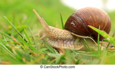 Burgundy snail (Helix pomatia) in the green grass