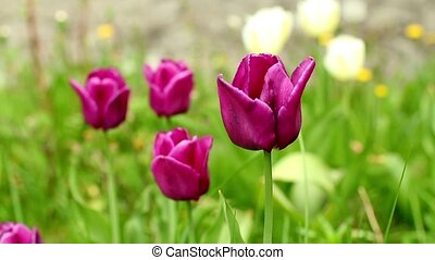 burgundy tulips camera motion