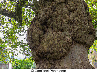 Burl on a tree, Freak of nature