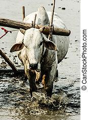 Burma. Farmer on his Rice Field