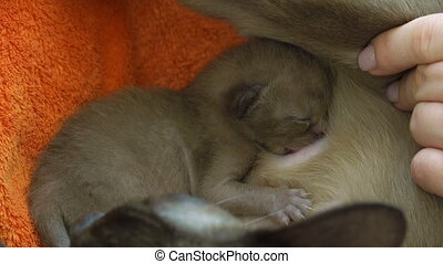 Burmese cat feeding newborn kittens in their nest