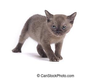 Burmese cat - pretty little Burmese breed cat of pale color(...