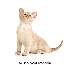 Burmese cat sitting on white and looking upward