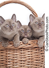 Burmese cats in big basket - pretty little Burmese breed cat...
