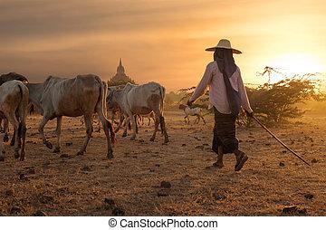Burmese herder leads cattle at Bagan. Myanmar (Burma) -...