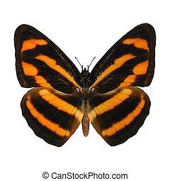 Burmese Lascar Butterfly - 3D digital render of a burmese...