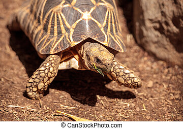 Burmese star tortoise Geochelone platynota is a critically...