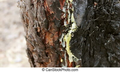 Burned and charred tree trunk close up view. A fire in forest damaged a pine tree.