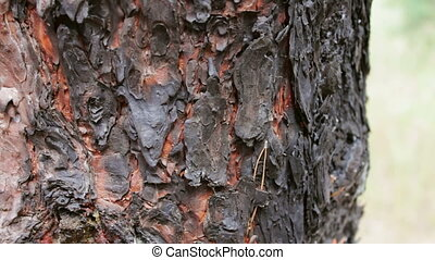 Burned and charred tree trunk close up view. A fire in...
