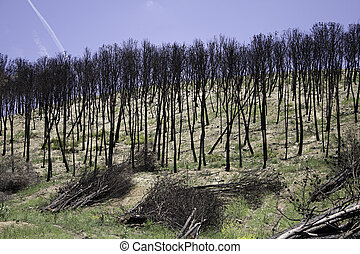 Burned forest trees
