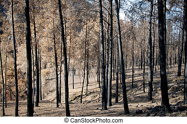 Burned forest with trees after a forest fire