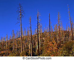 Burned Hillside - A hillside of burned trees in Yosemite ...