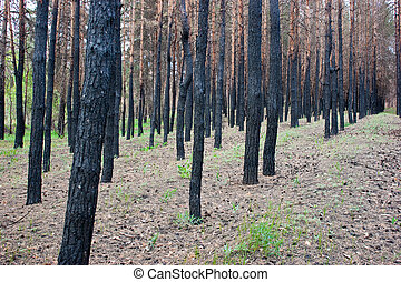 burned pine forest - charred trees in a pine forest