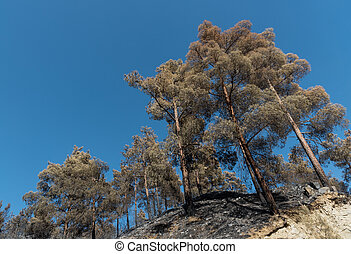 Burned Pine trees after forest fire