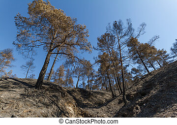 Burned pine trees following a forest fire in Troodos, Cyprus