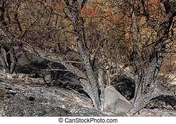 Burned tree-branches following a forest fire in Troodos, Cyprus