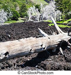 burned tree in petrified lava flow on Etna slope