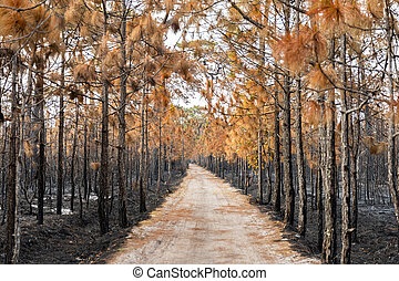 Burned trees in tropical forest by wildfire.