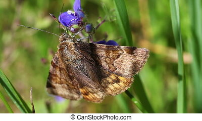Burnet companion moth - Euclidia glyphica in food intake -...