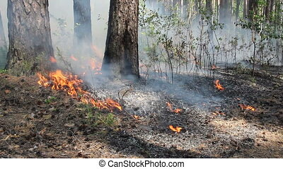 Burning peat bog in the forest - Burning of peat bogs, fire...
