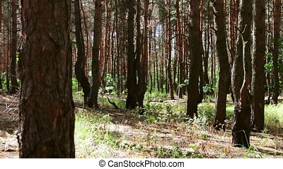 Burnt and charred tree trunks. A fire the forest damaged the...