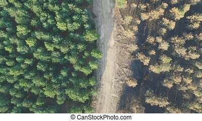 Burnt and safe pine tree forest with track, aerial view