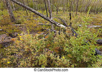 Burnt boreal forest