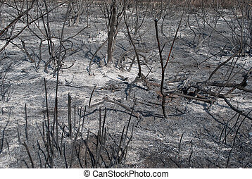 Burnt, charred trees after a forest fire