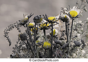 Burnt daisies - A bunch of daisy flowers singed by fire