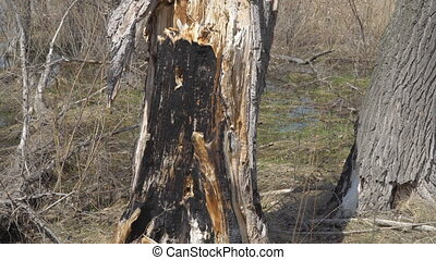 Burnt dry tree trunk in the forest