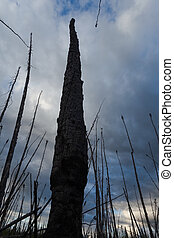 Burnt forest - Burned boreal forest, standing dead charred ...