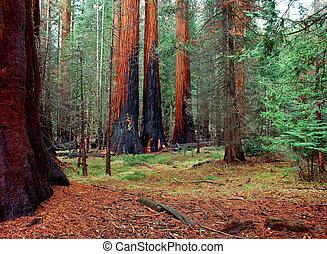 Burnt Giant Sequoias