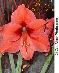 Burnt Orange Orchid