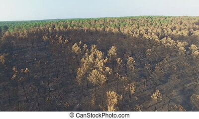 Burnt pine tree forest