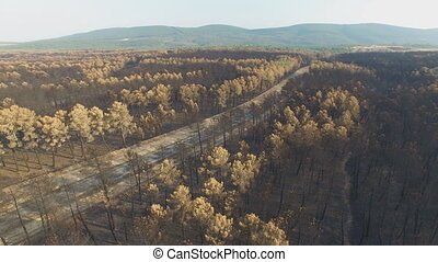 Burnt pine tree forest with road, aerial view